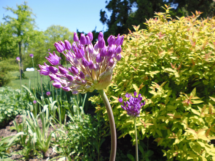 Allium in flower bed