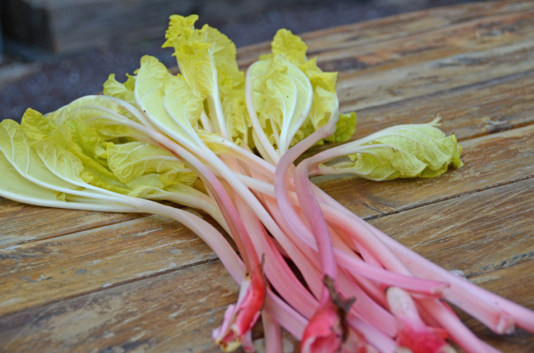 Forced rhubarb bunch