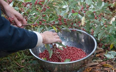Picking autumn berries