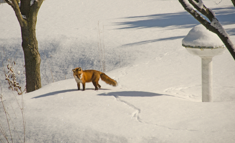 Fox in the snow and his shadow, February 2015