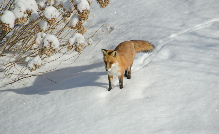 Fox in the snow pausing, February 2015