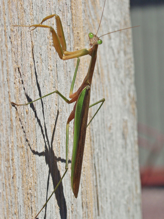 Praying mantis sunbathing