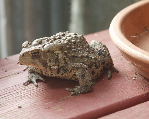 Toad on the porch
